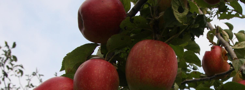 Appels in de boomgaard van de Overhorn