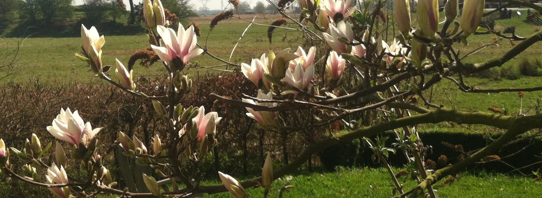 magnolia overhorn weesp voorjaar